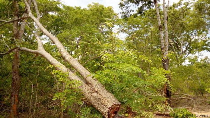 ha muitos exploradores furtivos de madeira em Nampula